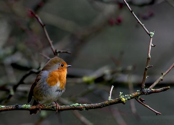 Robin by rsjkinson