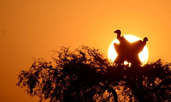 Eurasian Griffon Vulture, Gyps fulvus by desert_photographer
