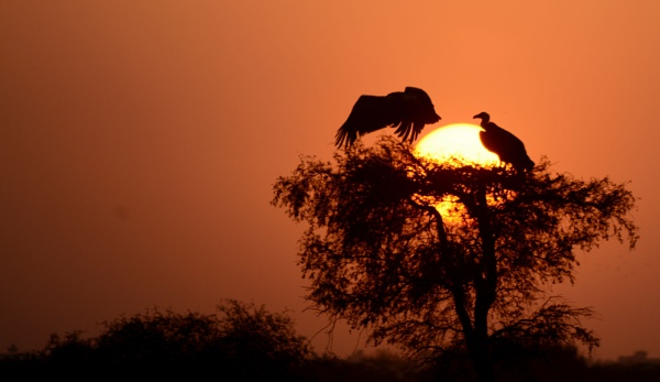 Eurasian Griffon Vulture, Gyps fulvus in shimmering silhouettee by desert_photographer