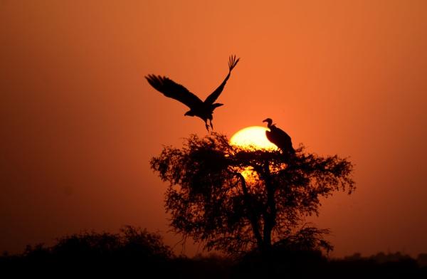 Take off Griffon Vultue jorbeer bikaner by desert_photographer