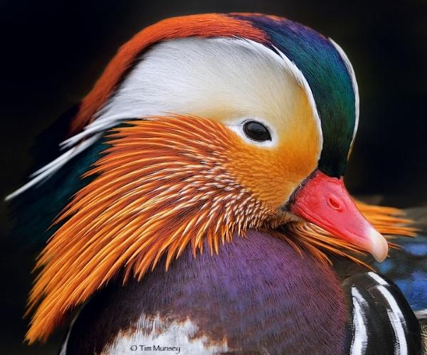 Mandarin Drake by TimMunsey