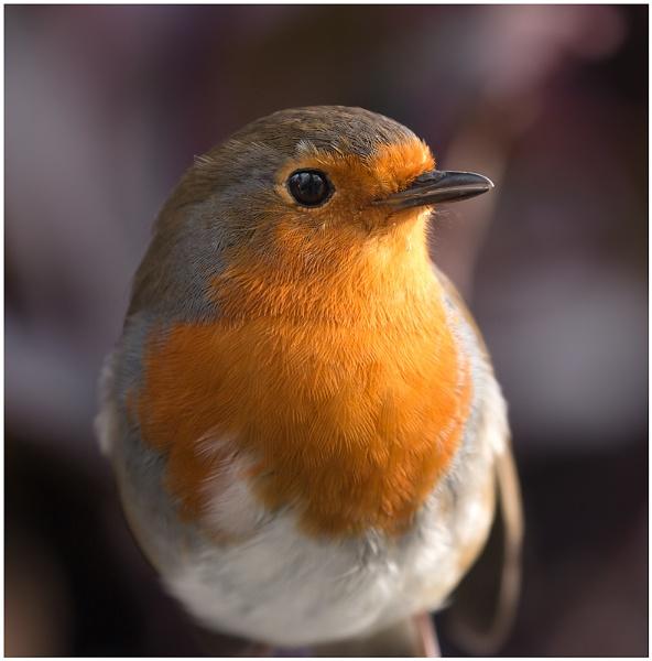 Robin by capto