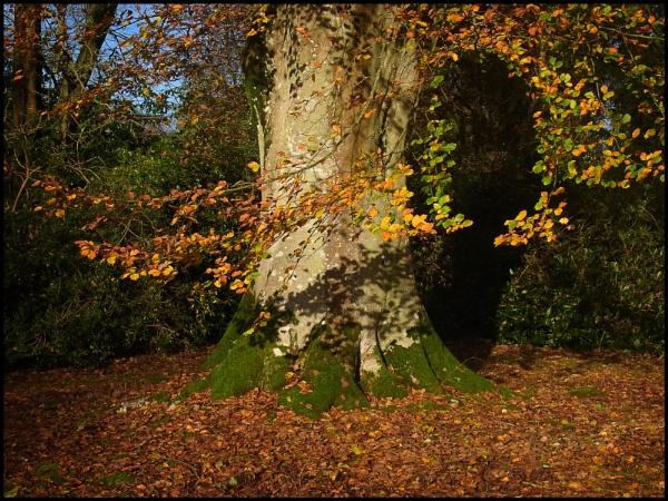 Beech Tree in Autumn by bwlchmawr