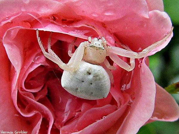 White on Pink by Hermanus