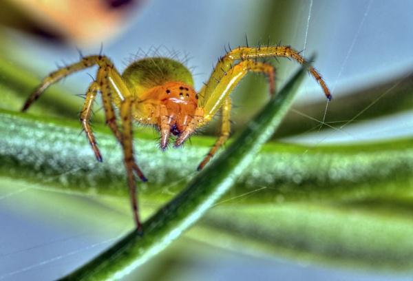 Green Orb Spider by fargon