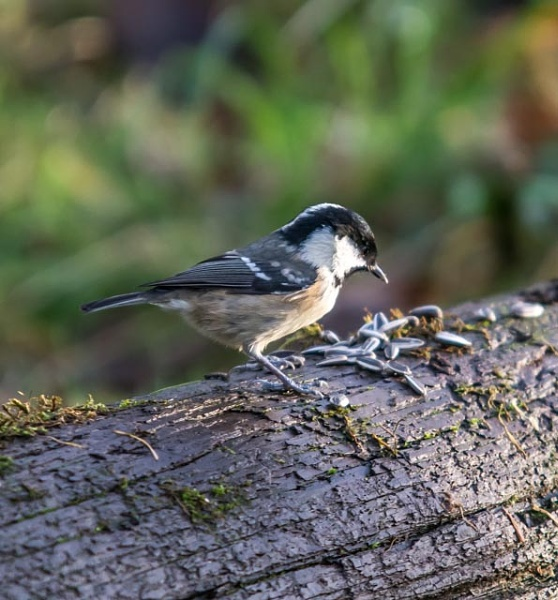 willow tit i think by madbob