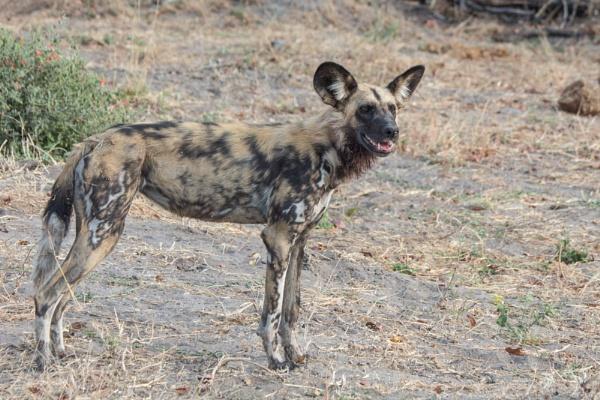 Wild dog 2 by Hazelmouse