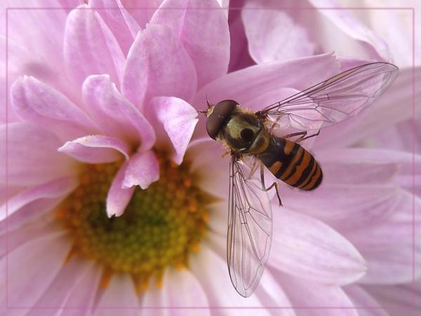 happy hoverflies by CarolG