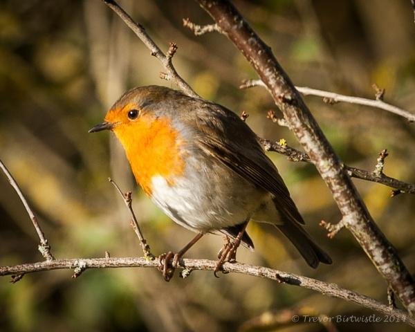 Autumnal Robin by Trev_B