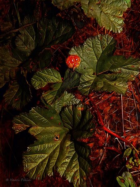 Rubus chamaemorus by HPalin