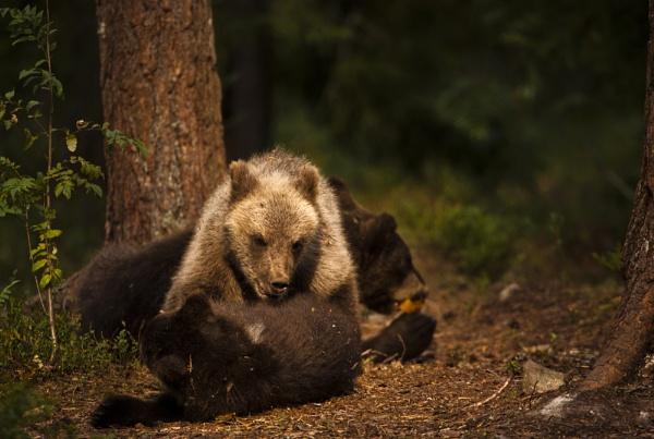 Bear Tumble by rontear