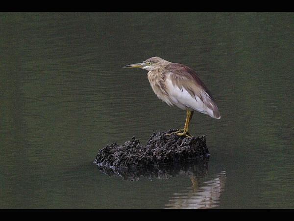 Pond Heron by TonyDy