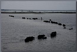 A Group of Buffalo...