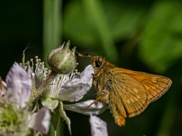 Large Skipper II