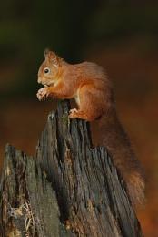 Red Squirrel VII
