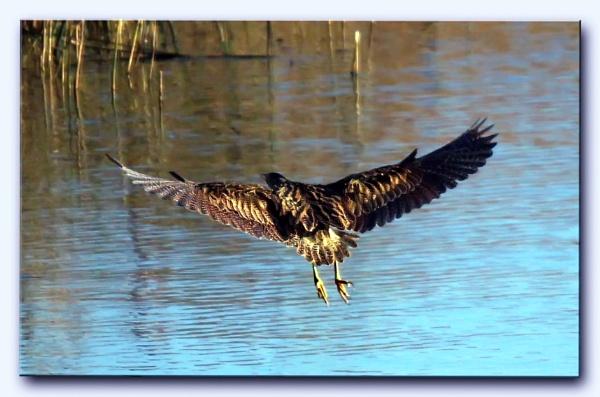 Bittern in flight. by Mike_S