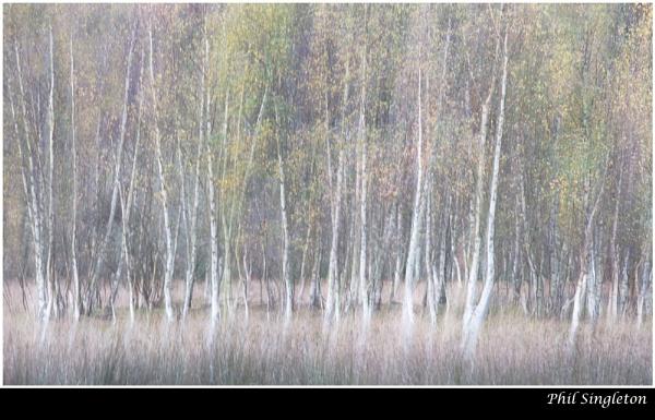 Autumnal Birches by PhilSingleton