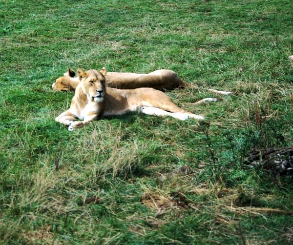 lions of longleat by yamahaman