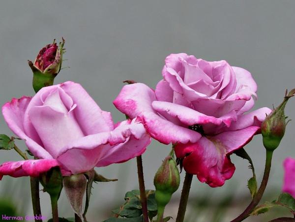 Burning Sky Roses by Hermanus