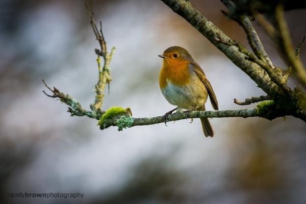 Robin by ABPhotosUK