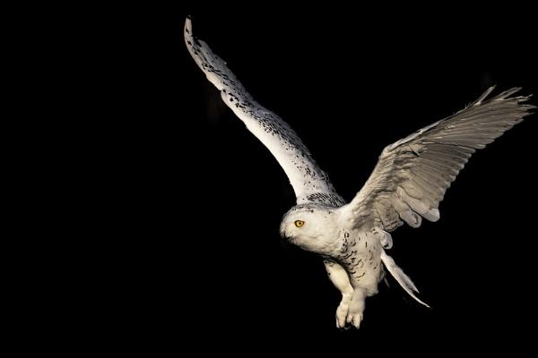 Snowy Owl by jander01