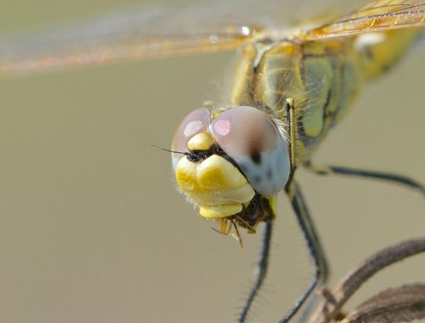 Dragonfly by alcontu