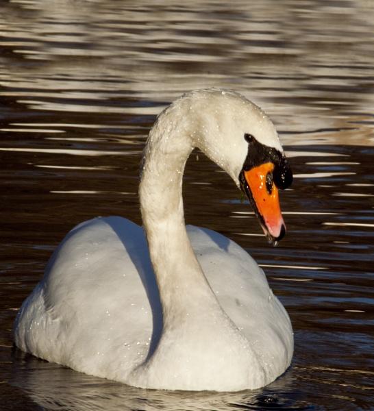 Swan Pose by chensuriashi