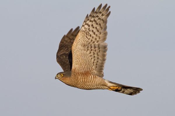 Sparrowhawk by glsammy