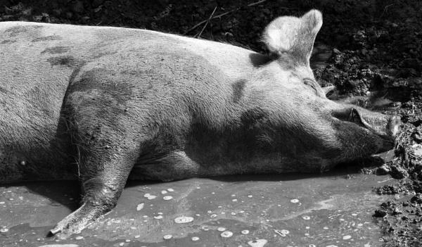 Happy Pig by Peteward