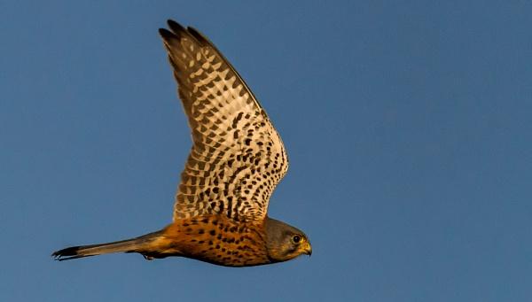 Kestrel Flyby by Kruger01