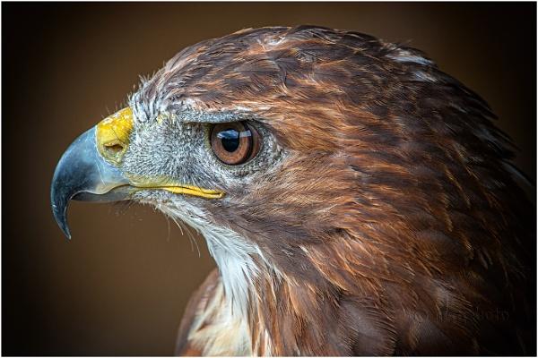 Buzzard Profile by Mstphoto