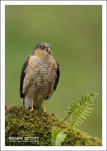 Sparrowhawk in the Rain ! by Brian_Scott