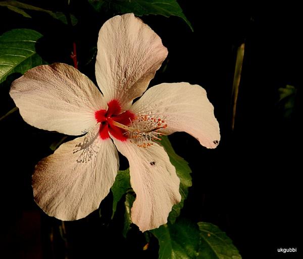 Hibiscous by ukgubbi