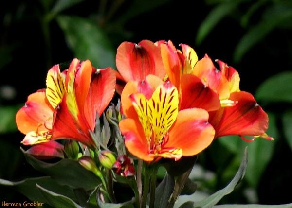 Inca Lily by Hermanus
