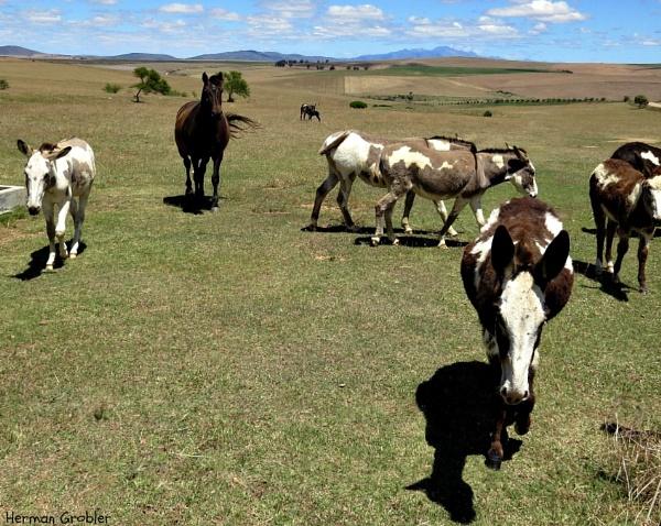 Donkey Farm Shadows by Hermanus