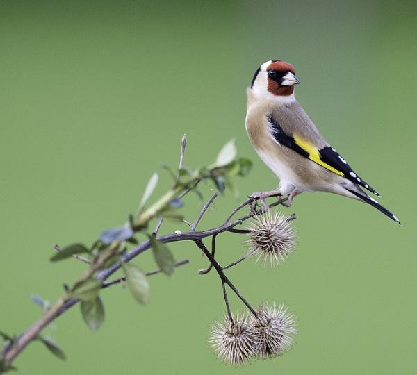 Goldfinch by 10delboy