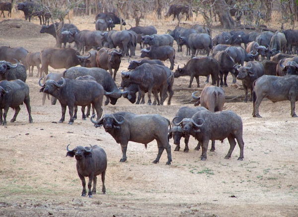 Buffalo herd... by rogerfry