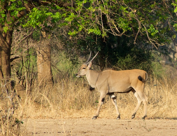 Eland... by rogerfry