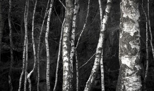 Silver Birch near Padley Gorge by Pete