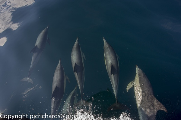 Common Dolphins by pronature