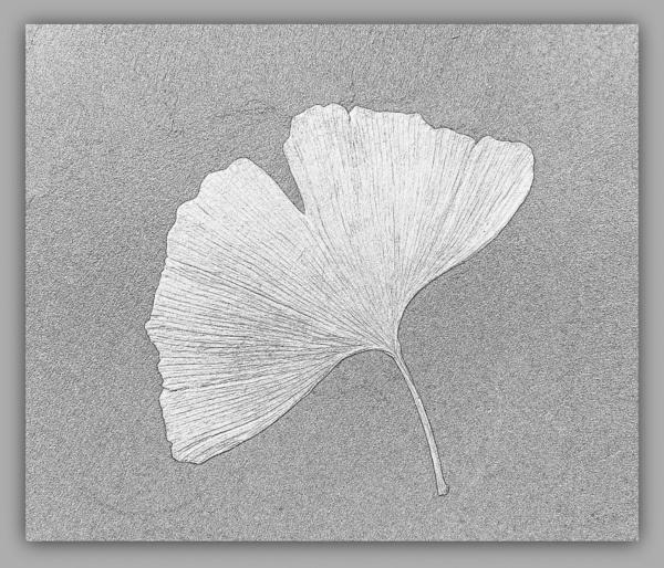 Ginkgo \'Fossil\' by BarbaraR