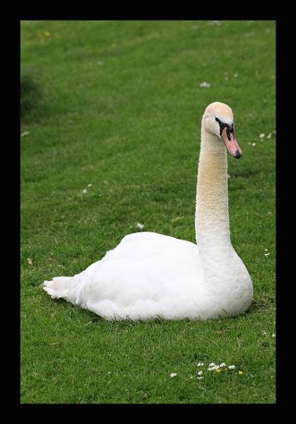swan by callumcorrie