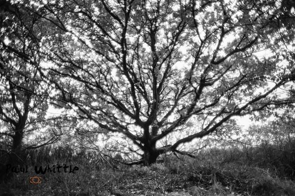 B&W tree by PWhittle
