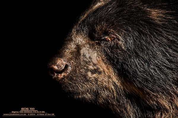 Andean Bear Portrait by Paul_Iddon
