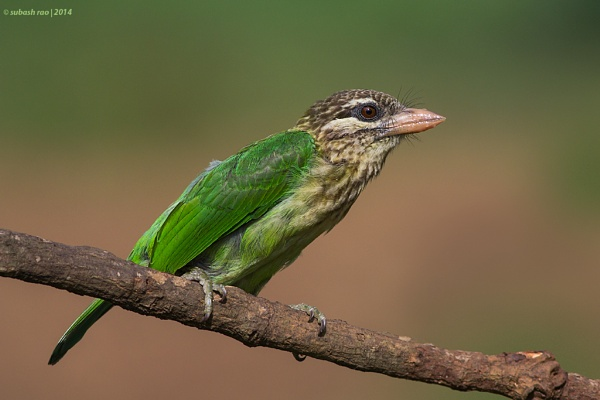 White-cheeked Barbet by subashcr