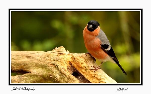 Bullfinch by Mike_Smith