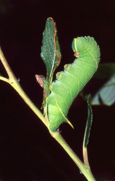 Eyed Hawk Moth Caterpillar by TonyDy