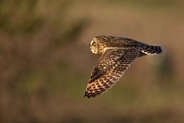 Photo : Short-eared owl