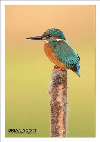 Kingfisher on Reedmace by Brian_Scott