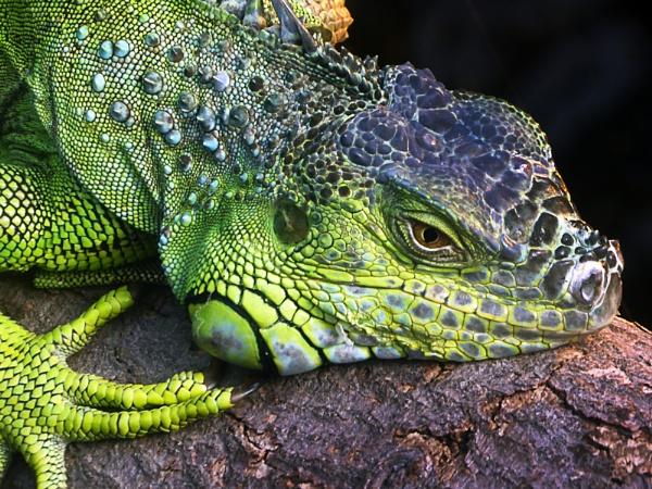 Iguana by SteveMcHale